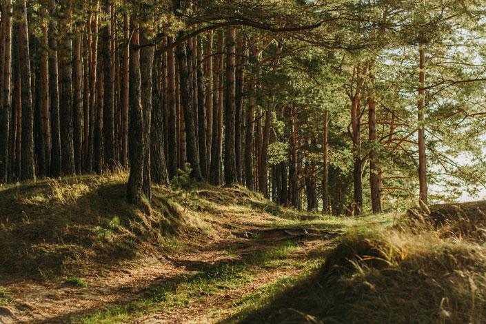 Weg durch einen Wald im hellen Nachmittagslicht. Symbolbild für eine nachhaltige Forstwirtschaft.